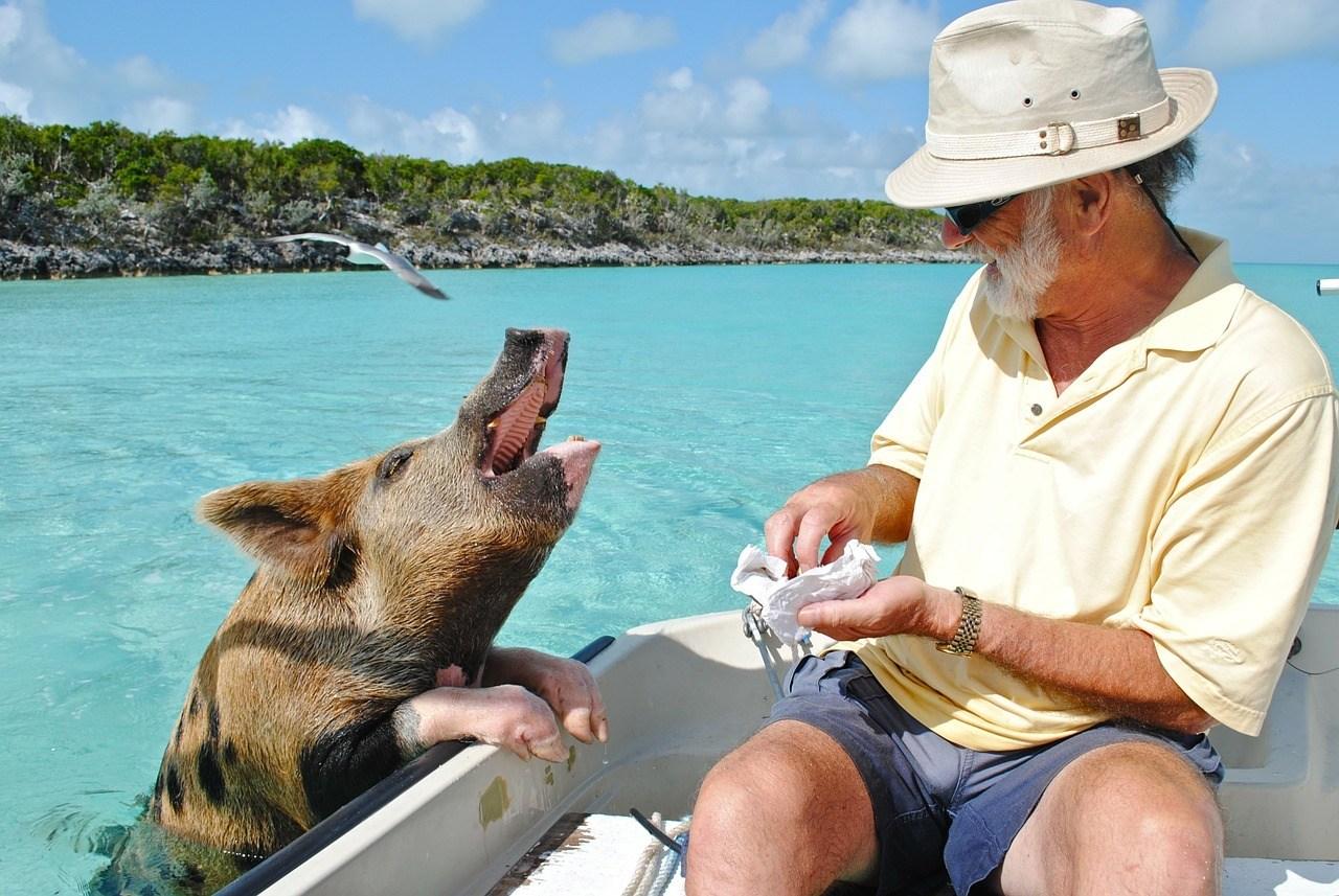 cerdo bahamas